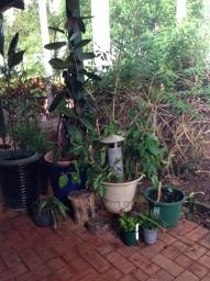 reviving pots on our veranda kept Nomi busy